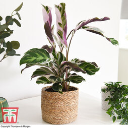 Calathea 'Fusion White' (House Plant)