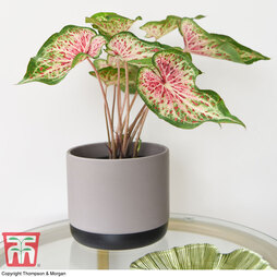 Caladium 'Heart and Soul' (Heart to Heart™ Series)