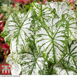 Caladium 'White Christmas'