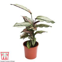 Calathea 'Whitestar' (House Plant)