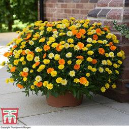 Calendula 'Power Daisy' Collection