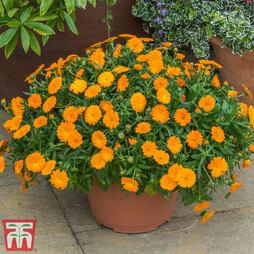Calendula 'Orange'
