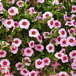 Calibrachoa Calita® 'Pink Morn'