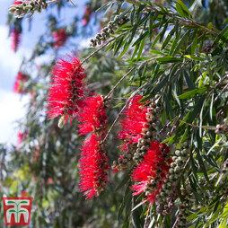 Callistemon viminalis 'Red Star' (Quarter Standard)