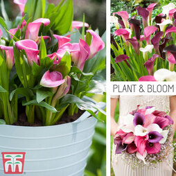 Calla Lily 'Pink Profusion Collection'