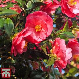 Camellia japonica 'Doctor King'