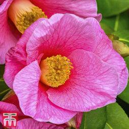 Camellia 'Crimson Candles'