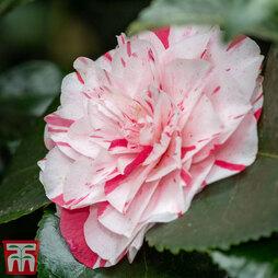 Camellia japonica 'Contessa Lavinia Maggi'