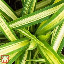 Carex oshimensis 'Eversheen' (Evercolour Series)