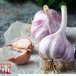 Garlic 'Caulk Wight'