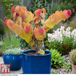 Cercis 'Eternal Flame'