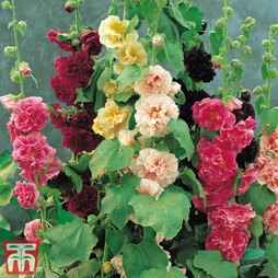 Hollyhock 'Chater's Doubles'