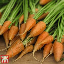 Carrot 'Royal Chantenay'