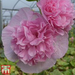 Hollyhock 'Chater's Salmon Pink'