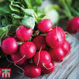 Radish 'Cherry Belle'