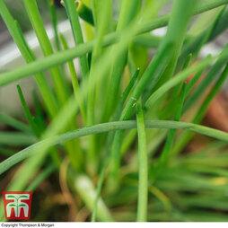 Chives 'Allium Prado'