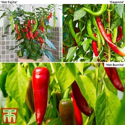 Chilli Pepper 'Hot Collection'