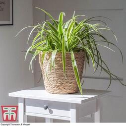 Chlorophytum comosum 'Variegatum' (House Plant)