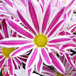 Chrysanthemum Beauty® 'Elegant Pink'
