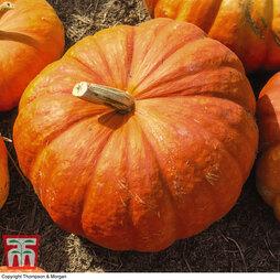 Organic Pumpkin 'Cinderella'