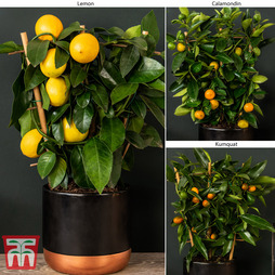 Citrus Trellis Collection (House Plant)