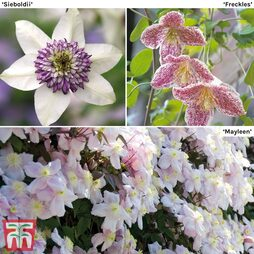 Clematis Trinity Collection