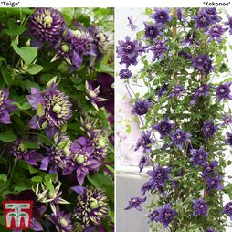Clematis Duo