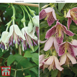 Clematis Duo Collection