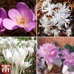 Colchicum Bulbs Collection