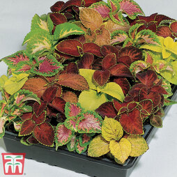 Coleus 'T&M Prize Strain Improved Mixed'