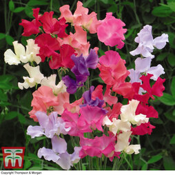 Sweet Pea 'Here Come the Girls'