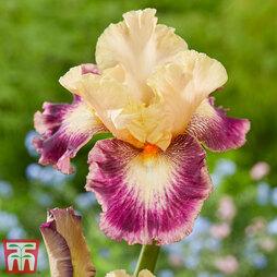 Iris 'Comme un Sourire'