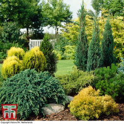 Nurseryman's Choice Conifer Collection