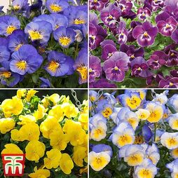 Pansy 'Cool Wave Collection'