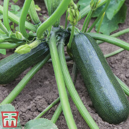 Courgette 'Sure Thing'