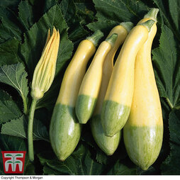 Courgette 'Zephyr' F1 Hybrid