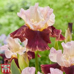 Iris 'Cranberry Swirl'