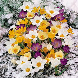 Crocus 'Winter Flowering'
