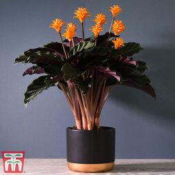 Calathea crocata (House Plant)