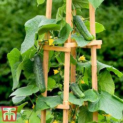 Cucumber 'Patio Snacker'
