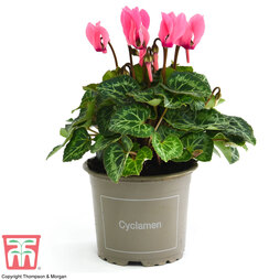 Cyclamen persicum 'Pink' (House plant)