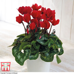 Cyclamen persicum 'Red' (House plant)