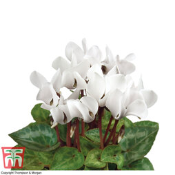 Cyclamen persicum 'White' (House plant)