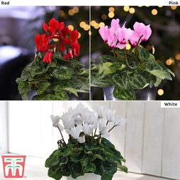 Cyclamen Nurseryman's Choice
