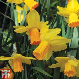 Daffodil 'Jetfire'