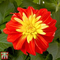 Dahlia 'Gardenetta Fireball'