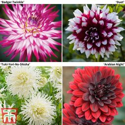Dahlia 'Delightful Collection'