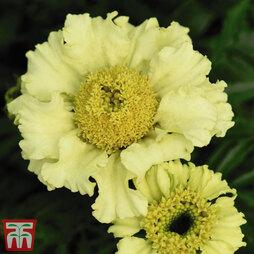 Marigold 'Daisy Wheel Lemon'