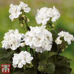 Geranium 'Grandeur® Dark White'
