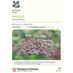 Daucus carota 'Dara' (National Trust)